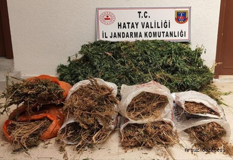 Arsuz'da 10 bin kök kenevir bitkisi ele geçirildi