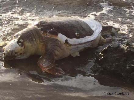 Ölü kaplumbağa Arsuz sahiline vurdu…